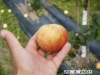 Långsjön päärynäomena